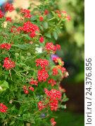 Купить «Vervain, Verbena, 'Novalis scarlet', close-up, blossom, autumn», фото № 24376856, снято 17 августа 2018 г. (c) mauritius images / Фотобанк Лори