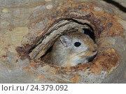 Купить «Mongolian gerbil, Meriones unguiculatus», фото № 24379092, снято 16 июля 2018 г. (c) mauritius images / Фотобанк Лори