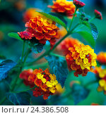 Купить «Yellow-red to orange blossoming flower of sort radiation from the early summer up to the late autumn as a terrace plant or in the garden bed», фото № 24386508, снято 21 августа 2018 г. (c) mauritius images / Фотобанк Лори