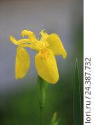 Купить «Yellow iris, Flag Iris, Iris pseudacorus», фото № 24387732, снято 20 августа 2018 г. (c) mauritius images / Фотобанк Лори