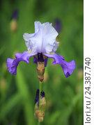 Купить «German iris, iris germanica», фото № 24387740, снято 20 августа 2018 г. (c) mauritius images / Фотобанк Лори
