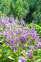 Цветущая Хоста ( Hosta ) на дачном участке, фото № 24392012, снято 10 июля 2016 г. (c) Евгений Мухортов / Фотобанк Лори