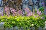 Цветущие Хосты ( Hosta ) в бордюре на даче, фото № 24392244, снято 10 июля 2016 г. (c) Евгений Мухортов / Фотобанк Лори