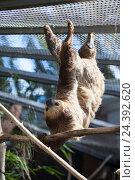 Купить «Двупалый ленивец Linnaeus Sloth висит на клетке. The Loro Parkue in Puerto de la Cruz, Tenerife, Canary, Spain», фото № 24392620, снято 4 января 2016 г. (c) Кекяляйнен Андрей / Фотобанк Лори