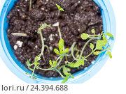 Купить «Зеленые ростки в синей пластиковой чашке», фото № 24394688, снято 30 марта 2015 г. (c) Евгений Ткачёв / Фотобанк Лори