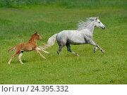 Купить «Connemara pony, mare with foal, paddock, side view, running,», фото № 24395332, снято 20 августа 2018 г. (c) mauritius images / Фотобанк Лори