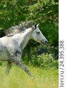 Купить «Connemara pony, mare, belt, side view, running,», фото № 24395388, снято 20 августа 2018 г. (c) mauritius images / Фотобанк Лори