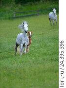 Купить «Connemara pony, mare with foal, belt, head-on, running, looking at camera,», фото № 24395396, снято 20 августа 2018 г. (c) mauritius images / Фотобанк Лори