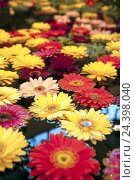 Купить «Flowers, swim, water, gerbera,», фото № 24398040, снято 15 августа 2018 г. (c) mauritius images / Фотобанк Лори