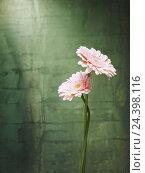 Купить «Gerbera, flowers, blossoms, pink, still life,», фото № 24398116, снято 12 декабря 2017 г. (c) mauritius images / Фотобанк Лори