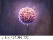 Купить «Allium, flower, blossom, still life, Allium giganteum, pink,», фото № 24398132, снято 15 августа 2018 г. (c) mauritius images / Фотобанк Лори