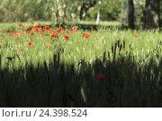 Купить «Africa, Morocco, Atlas Mountains, green fields in the DadÞs Valley,», фото № 24398524, снято 21 июня 2018 г. (c) mauritius images / Фотобанк Лори
