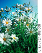 Купить «oxeye daisys, chrysanthemum leucanthemum, flowers, blossoms, meadow, grass, flower meadow, blossom, chrysanthemum, meadow flower», фото № 24408608, снято 29 ноября 2000 г. (c) mauritius images / Фотобанк Лори