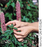 Купить «Woman, detail, hands, pick, peppermint, garden medicinal plant of the year 2004 collect, harvest, pick, mint, blossoms, herb, herb, herbs, Mentha», фото № 24413624, снято 25 сентября 2002 г. (c) mauritius images / Фотобанк Лори