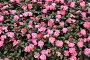 Розовые цветы и зелёные листья, фото № 24422108, снято 1 декабря 2016 г. (c) Алексей Кузнецов / Фотобанк Лори