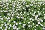 Белые цветы на клумбе, фото № 24422120, снято 1 декабря 2016 г. (c) Алексей Кузнецов / Фотобанк Лори