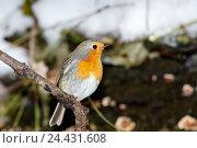 Купить «Зарянка. Robin (Erithacus rubecula).», фото № 24431608, снято 27 ноября 2016 г. (c) Василий Вишневский / Фотобанк Лори