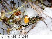 Купить «Зарянка. Robin (Erithacus rubecula).», фото № 24431616, снято 27 ноября 2016 г. (c) Василий Вишневский / Фотобанк Лори
