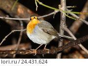 Купить «Зарянка. Robin (Erithacus rubecula)», фото № 24431624, снято 27 ноября 2016 г. (c) Василий Вишневский / Фотобанк Лори