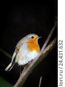 Купить «Зарянка. Robin (Erithacus rubecula).», фото № 24431632, снято 27 ноября 2016 г. (c) Василий Вишневский / Фотобанк Лори