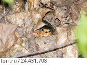 Купить «Зарянка в гнезде. Robin (Erithacus rubecula)», фото № 24431708, снято 5 мая 2016 г. (c) Василий Вишневский / Фотобанк Лори