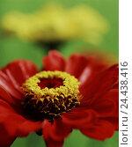 Купить «Garden zinnias, Zinnia spec., detail, blossoms, red, yellow, cultivated plants, composites, Asteraceae, Compositae, Einjahrsblumen, cut flowers, plants...», фото № 24438416, снято 27 сентября 2005 г. (c) mauritius images / Фотобанк Лори