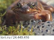 Купить «Moss, grass frog, Rana temporaria, frogspawn animal world, wilderness, amphibians, amphibian, Amphibia, Amphibians, Amphibian, frog Amphibians, real frogs...», фото № 24449416, снято 21 августа 2003 г. (c) mauritius images / Фотобанк Лори