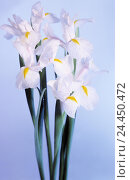 Купить «Iris, white, dewdrop, nature, flora, irises, drops water, rope, cut flowers, flowers, lilies, plant, background, light blue, white», фото № 24450472, снято 11 июля 2000 г. (c) mauritius images / Фотобанк Лори