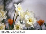 Купить «Flowers, narcissi, Narcissus, blossoms daffodil, daffodils, Narcissus pseudonarcissus, narcissus, bulb shrub, amaryllis plants, Amaryllidaceae, toxic,...», фото № 24456508, снято 20 февраля 2002 г. (c) mauritius images / Фотобанк Лори