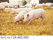 Купить «young piglet on hay at pig farm», фото № 24460980, снято 23 августа 2012 г. (c) Дмитрий Калиновский / Фотобанк Лори