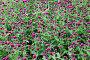 Красные цветы на клумбе, фон, фото № 24461628, снято 1 декабря 2016 г. (c) Алексей Кузнецов / Фотобанк Лори