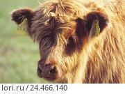 Купить «Scottish highland cattle, young animal, portrait, Tierzuch, cattle breeding, animals, mammal, cloven-hoofed animal, horned ungulates, Bovidae, ruminant...», фото № 24466140, снято 19 ноября 2004 г. (c) mauritius images / Фотобанк Лори