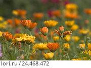 Купить «Flower meadow, marigolds, Calendula officinalis, blossoms, yellow, orange, meadow, plants, flowers, garden marigold, medicament plant, medicinal plants...», фото № 24468472, снято 5 октября 2004 г. (c) mauritius images / Фотобанк Лори