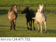 Купить «Meadow, horses, Arabs, three, run, animals, mammals, uncloven-hoofed animal, horses, riding horses, horse's race, thoroughbred horses, stallions, Arab...», фото № 24471732, снято 15 декабря 2004 г. (c) mauritius images / Фотобанк Лори