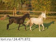 Купить «Meadow, horses, Arabs, run, animals, mammals, uncloven-hoofed animal, horses, riding horses, horse's race, thoroughbred horses, fur colour, passed away...», фото № 24471872, снято 15 декабря 2004 г. (c) mauritius images / Фотобанк Лори