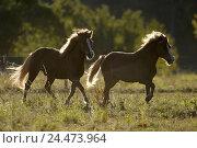 Купить «Meadow, Iceland horses, run, side view, back light, animals, mammals, uncloven-hoofed animals, horses, riding horses, horse's race, thoroughbred horses...», фото № 24473964, снято 23 декабря 2004 г. (c) mauritius images / Фотобанк Лори