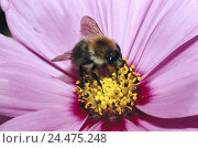 Купить «Blossom, petals, pink, detail, dust vessels, earth bumblebee, Bombus, terrestris nature, flower, dust, zoology, animal world, animal, animals, insect,...», фото № 24475248, снято 30 ноября 2004 г. (c) mauritius images / Фотобанк Лори