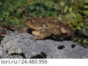 Купить «Stone, earth toad, Bufo bufo, mountains, bile, animals, animal, Amphibians, Amphibian, Amphibia, amphibians, frog Amphibian, Anura, Salientia, toad, frog», фото № 24480956, снято 18 февраля 2003 г. (c) mauritius images / Фотобанк Лори