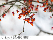 Купить «spindle or euonymus branch with fruits in winter», фото № 24493888, снято 11 ноября 2016 г. (c) Syda Productions / Фотобанк Лори