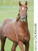 Купить «Meadow, horse, Arab, motion, animals, animal, mammals, mammal, uncloven-hoofed animal, horses, riding horses, riding horse, horse's race, thoroughbred...», фото № 24494648, снято 15 декабря 2004 г. (c) mauritius images / Фотобанк Лори