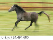 Купить «Meadow, horse, Arab, gallop, run side view, animals, animal, mammals, mammal, uncloven-hoofed animal, horses, riding horses, riding horse, horse's race...», фото № 24494680, снято 15 декабря 2004 г. (c) mauritius images / Фотобанк Лори