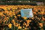 Хризантема садовая. Никитский ботанический сад, эксклюзивное фото № 24496300, снято 24 октября 2016 г. (c) Яна Королёва / Фотобанк Лори