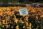 Никитский ботанический сад в Крыму. Бал хризантем, эксклюзивное фото № 24496304, снято 24 октября 2016 г. (c) Яна Королёва / Фотобанк Лори