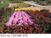 Купить «Бал хризантем в Никитском ботаническом саду, Крым», эксклюзивное фото № 24496316, снято 24 октября 2016 г. (c) Яна Королёва / Фотобанк Лори
