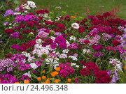 Купить «Garden, beard cloves,», фото № 24496348, снято 20 февраля 2008 г. (c) mauritius images / Фотобанк Лори