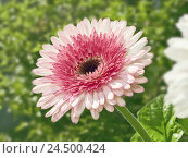 Купить «Garden, Gerbera blossom, pink,», фото № 24500424, снято 12 декабря 2017 г. (c) mauritius images / Фотобанк Лори