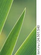 Купить «Iris, iris, leaves, detail, green,», фото № 24501540, снято 20 мая 2009 г. (c) mauritius images / Фотобанк Лори