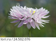 Купить «Solar wings, blossom, sunshine, detail, meadow flower, summer flower, flower, plant, Asteraceae, blossom, petals, white, composites, plant, nature, summer...», фото № 24502076, снято 20 апреля 2009 г. (c) mauritius images / Фотобанк Лори
