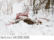 Купить «Venison corpses, snow, lie, wolf fissure, Lubochna, national park, protection endangered species, blood, skeleton, instinct, corpse, bone, fissure, mammal...», фото № 24505008, снято 9 июля 2009 г. (c) mauritius images / Фотобанк Лори
