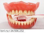 Купить «Bite prosthesis, toothbrush,», фото № 24506232, снято 13 ноября 2009 г. (c) mauritius images / Фотобанк Лори